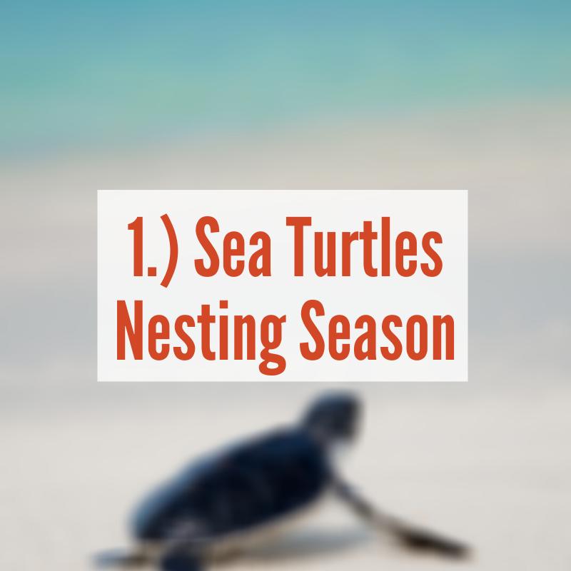Baby sea turtle headed to ocean | Sea Turtles Nesting Season