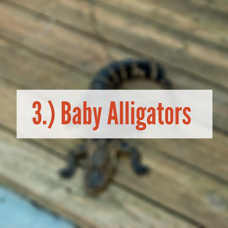 baby alligator on wood plank | Baby Alligator