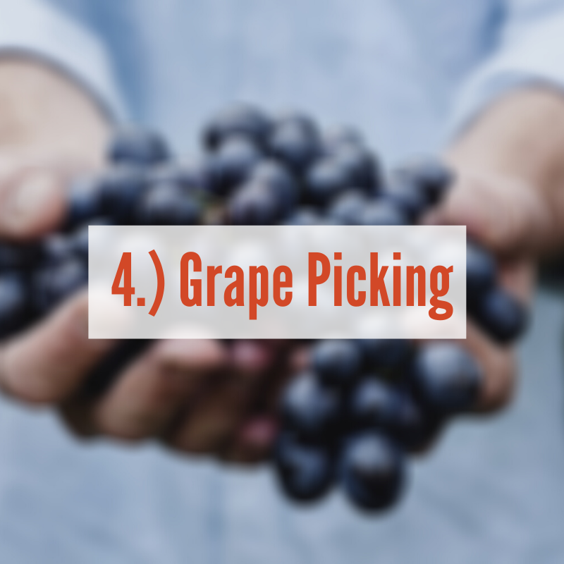Hands holding red grapes | Grape Picking